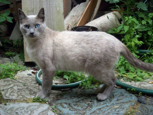 Siamese lost cat